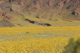Death valley spring flowers 2005 dense flowers below blanketed stream valley mightylinksfo