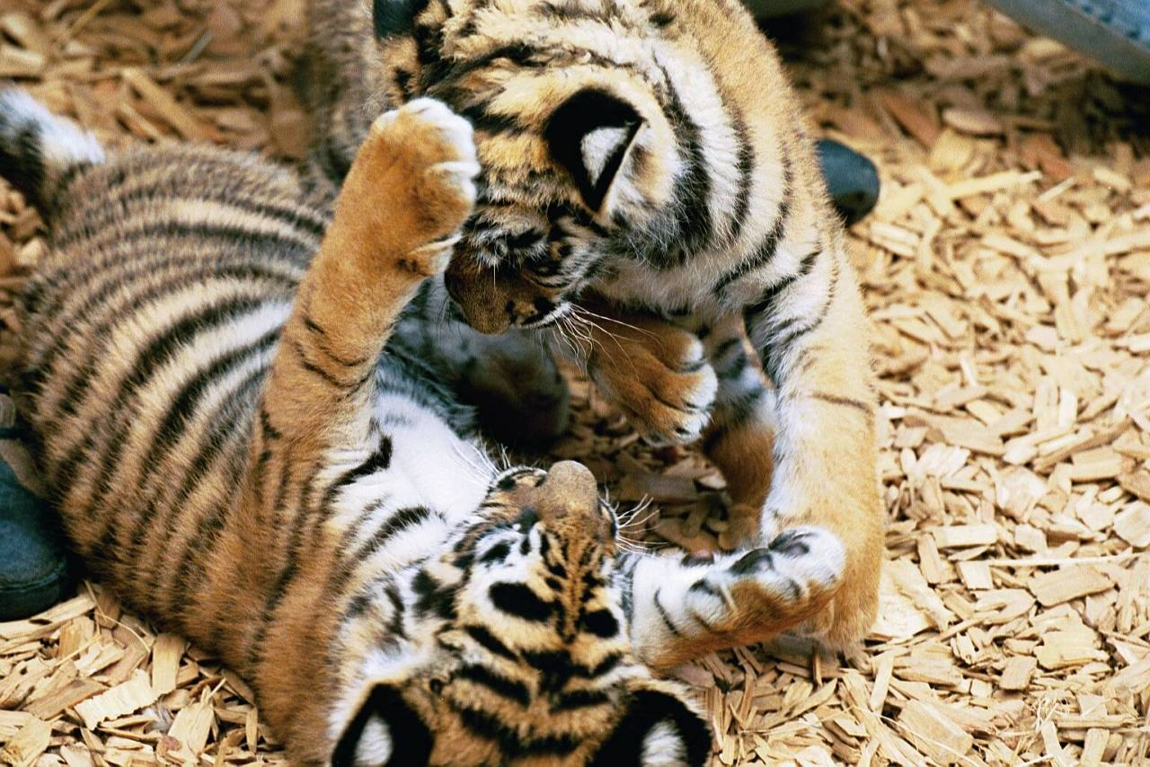 baby-white-tigers-playing